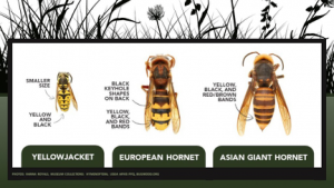Two native species in North America that look like the Asian giant hornet are the yellowjacket and European hornet.
