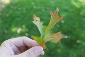 Oak leaf showing signs of wilting