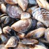 Invasive fish and invertebrates - Zebra Mussel